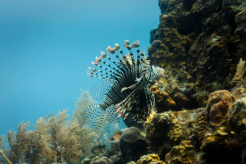 Lion fish on the reef